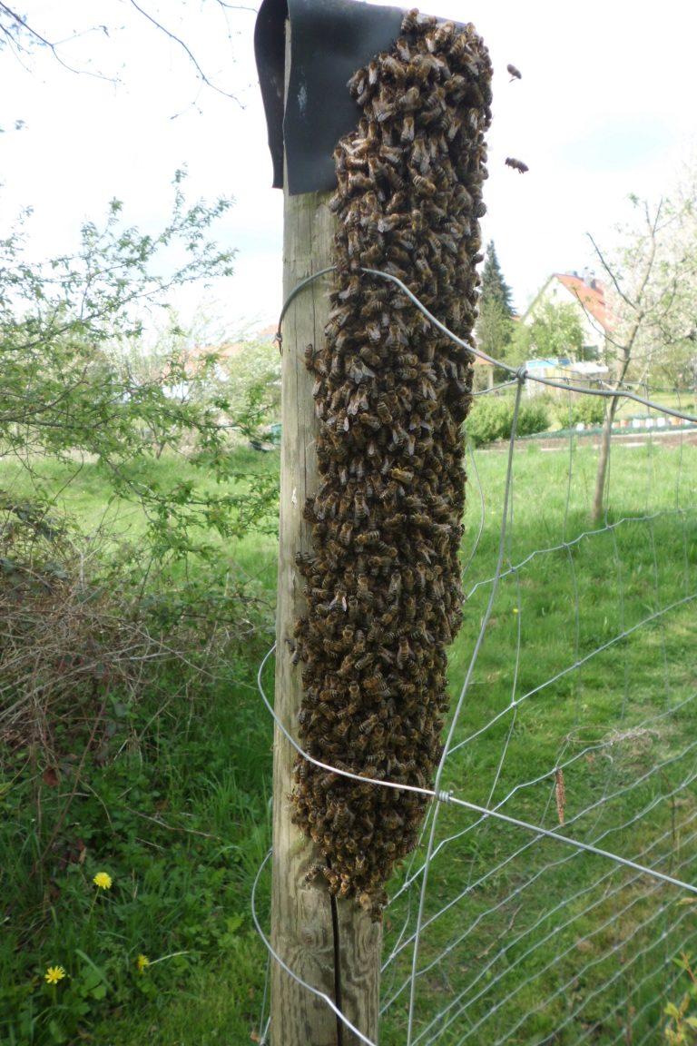 Bienen am Zaunpfahl